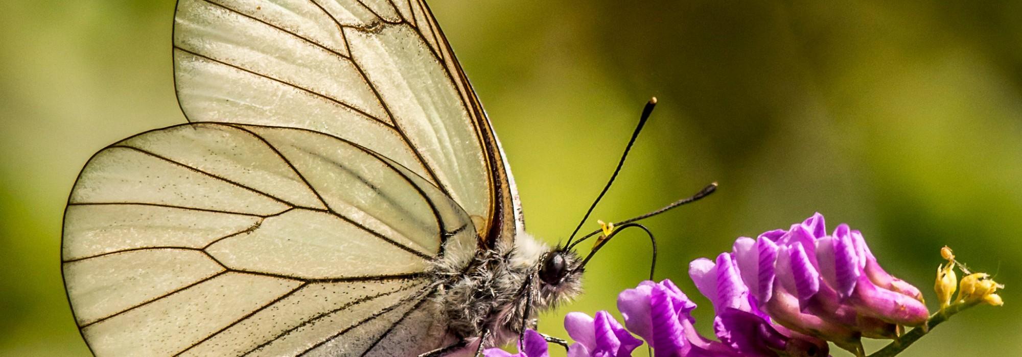 Le Papillon - Daniel Orts