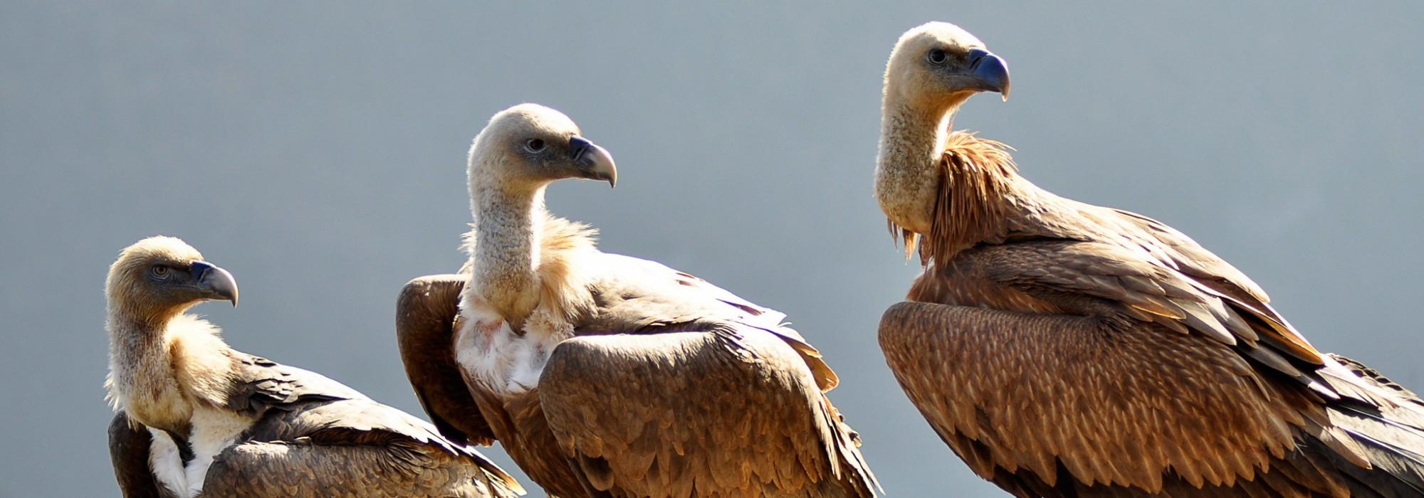 1 petit, 2 petits, 3 petits vautours ! Patrick Lutherer